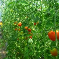 赤 黄 緑 香りぷんぷん トマトの園 (菜人)