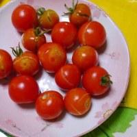 ミニトマトがー・・・割れた