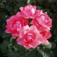 薔薇三昧。