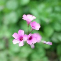 桃色 桜色 ピンク どれが好きですか