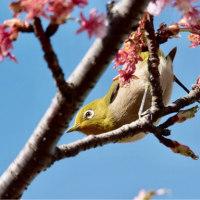 26/Feb  春の小川のカワセミ