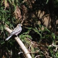 杉の枝にもとまってくれた、ハギマシコ。