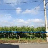 梨畑〜幸水だと言ってました。友人の家の前には梨畑。