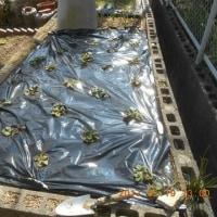 庭のイチゴにも施肥とマルチをしました