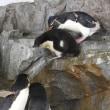 イワトビペンギンひなのお出かけ4