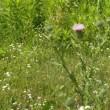 道ばたの草地にアメリカオニアザミの花