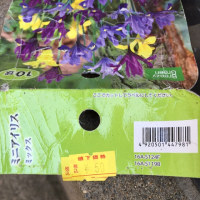 ミニアイリス開花