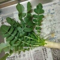 野菜、収穫しました。
