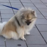 愛犬、毛がサラサラに