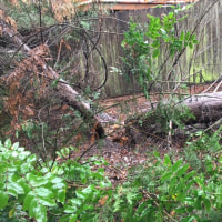 また、木が倒れてました