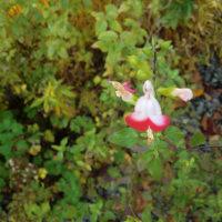 ◆サルビアホットリップスもまだ咲いています。