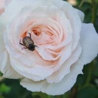 バラとアトリエ作りと、宇宙人に聞くと