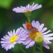 チョウチョウ〜〜チョウセンヨメナとチョウ(蝶)
