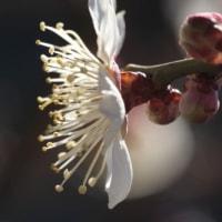 ひいらいたひらいた 梅の花が満開だ!