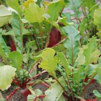 ガーデンパークの野菜