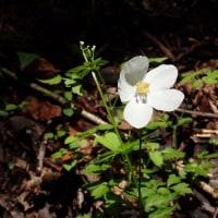 天照教付近の植物:珍しく一輪だけイチリンソウの花が残っていました。