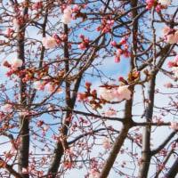 桜が綻んでいます