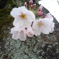 桜の蕾が・・・