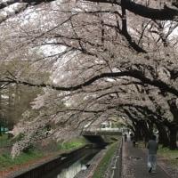 善福寺川の桜達