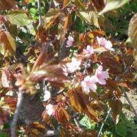 庭の山桜が咲いて、雀も砂浴び。