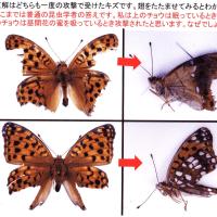1.チョウやガの翅に残る鳥の嘴によってできた傷から何がわかるか?その3