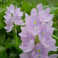 薄紫の植物