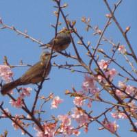 相模川散策路の河津桜