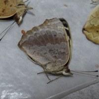 アオタテハモドキ これも異常型?