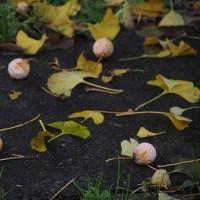 晩秋のイチョウ
