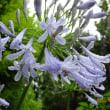 雨に咲くアガパンサス