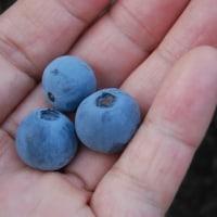 ブルーベリーを今年初収穫