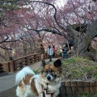 旅のめぐちゃん2―高遠の桜を見てー(めぐぱぱ)