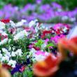 花壇の花々 ハイビスカスなど