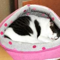 猫ベッドで寝る猫