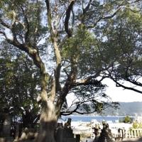沼島八幡宮 ご神木