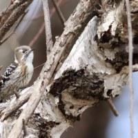 コゲラ, Pygmy Woodpecker
