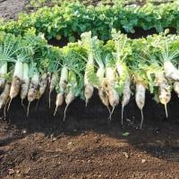 2016収穫野菜・・・振り返りシリーズ(2)