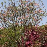 ◎庭花日記 4/22 ツルニチニチソウ&房咲きチューリップ