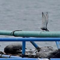 大熊漁港のクロハラアジサシ