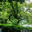 真夏の日差しになった善福寺公園です その2