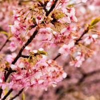 23/Feb 雨の河津桜と昼のホトケノザと野うさぎと夕暮れの湘南銀河