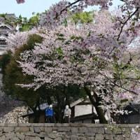 2017年、熊本城の桜