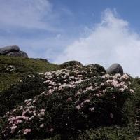 終焉を迎えつつあるヤクシマシャクナゲ【屋久島宮之浦岳登山情報】