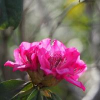 春散歩~白い山桜