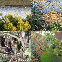 榛の木と南京黄櫨と