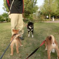 仔犬のお散歩練習