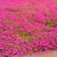 おおた八王子山公園芝桜・ポピーまつり (4月7日~5月5日開催)
