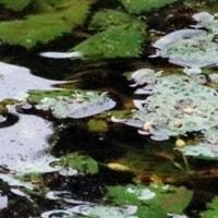 ヒシ 水面で合唱