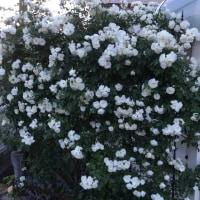 鳥たちの行動とバラを育てて⑥年目の庭