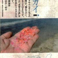 2017年3月20日/〈貝寄せの浜・「貝寄せ館」物語〉111:サクラガイ